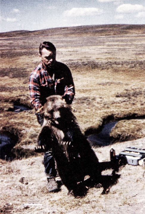 John moves an immobilized yearling bear in the early 1960s at Yellowstone, probably to prevent it from sliding, disoriented, into the creek.