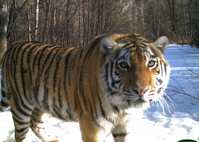 From Orphaned, Frostbitten Cub To Fearless 'Tiger Princess'