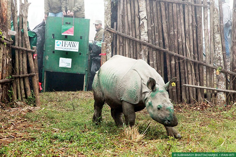 Road Trip For Rescued Rhinos May Give The Species A Lift
